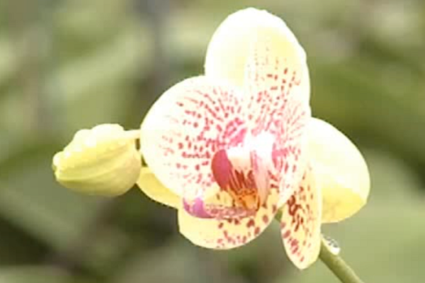 orchidée jaune à points