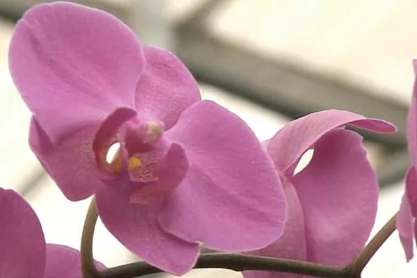 Quelles Sont Les Couleurs Naturelles De L Orchidee Phalaenopsis